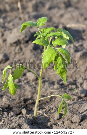 young tomato sprout on ground background - stock photo