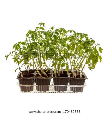 Young tomato sprouts in plastic cups isolated on white - stock photo