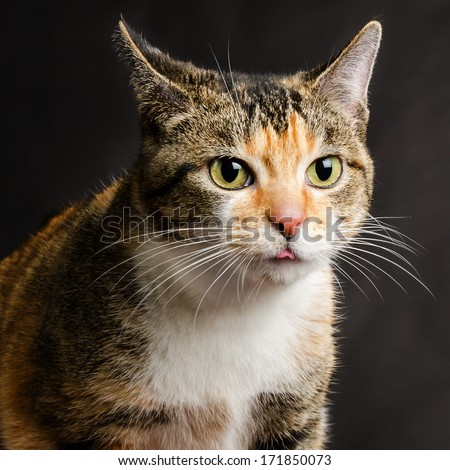 Young Torbie Kitten Cat sticking her Tongue Out - stock photo