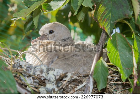 Young Turkish Tortola in the nest. Eurasian collared dove. - stock photo