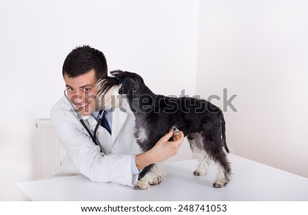 Young veterinarian examining cute and obedient miniature schnauzer in ambulance - stock photo