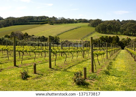 Young vines in the Morning Peninsula, Victoria, Australia - stock photo