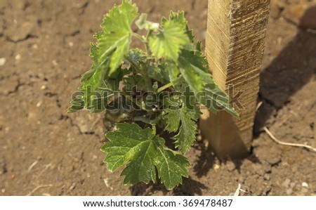 Young vineyard - stock photo