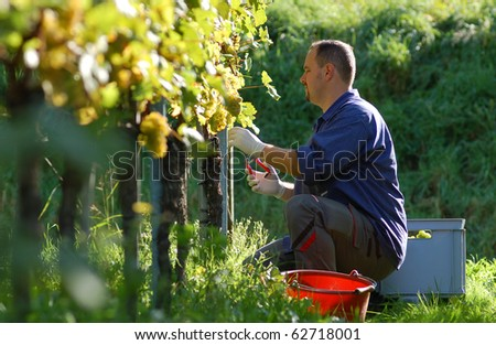 Young vintner is harvesting white grape in the vineyard by sunny wheather - stock photo