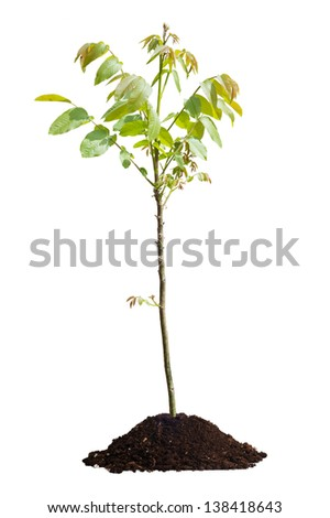 Young walnut tree isolated on white background - stock photo