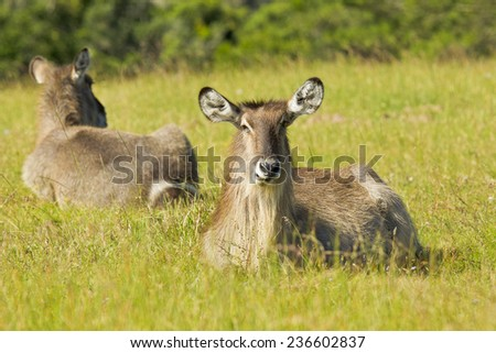 young waterbuck lying down in long grass and chewing the cud - stock photo