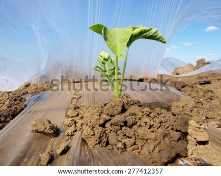young watermelon field covered with nylon - stock photo
