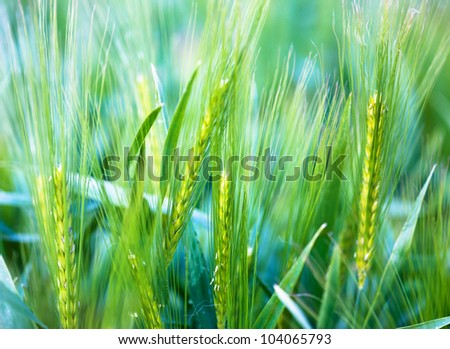 young wheat - soft background - stock photo