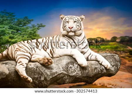 Young white bengal tiger in the act of relax on stone at natural sunset background - stock photo
