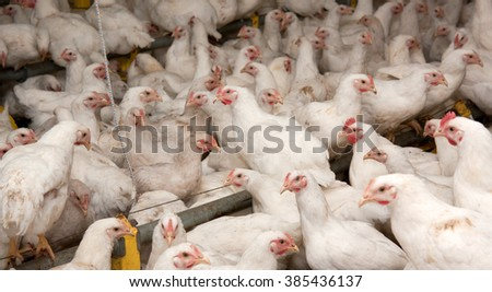 Young white chickens at the poultry farm - stock photo