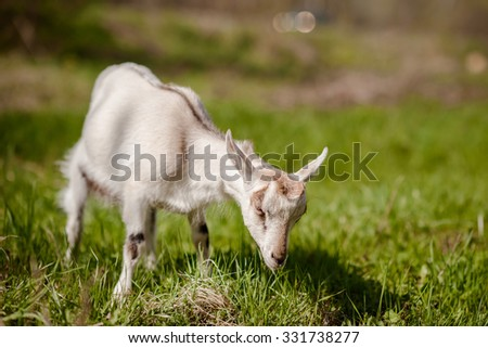 young white goat eating grass on a farm - stock photo