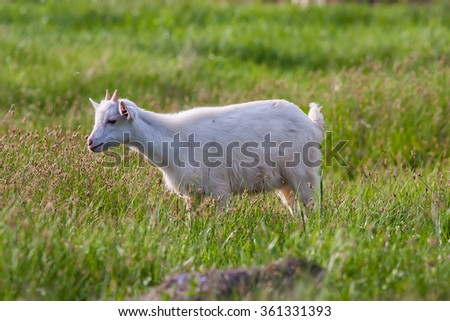 Young white goat grazing at the meadow on summer day - stock photo