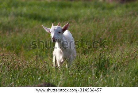 Young white goat grazing at the meadow on summer day with space aside - stock photo