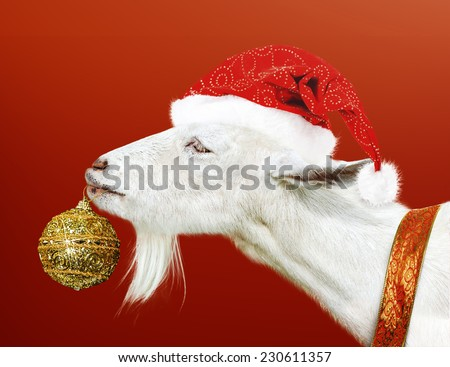 Young White goat wearing santa claus hat and ribbon holding golden new years Toy for Christmas tree in mouth on red background - stock photo