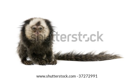 Young White-headed Marmoset, Callithrix geoffroyi, 5 months old, in front of white background, studio shot - stock photo