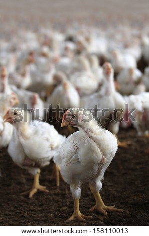 Young white hen looking at camera in a chicken poultry farm in a indoor shed housing hundreds of chicks bred for meat - stock photo