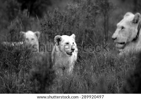 Young white lion cub with mother and sibling in the background. South Africa - stock photo
