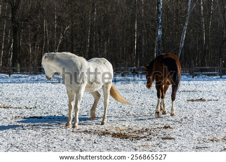 Young white mare laid her ears and stood in a threatening posture, preventing bay mare of their intentions. Bright low winter sun casts long volumetric shadows on the snow - stock photo
