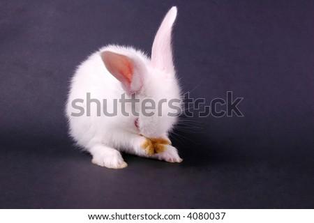 young white rabbit on dark background - stock photo
