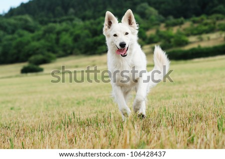 young White Swiss Shepherd runs in the meadow - stock photo