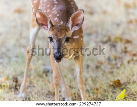 Young white tail fawn only slightly alarmed by the big human whose figs it is eating.  Old injury visible between ears.  Shallow depth of field. - stock photo