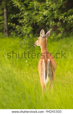 Young white tailed deer in the tall green grass - stock photo