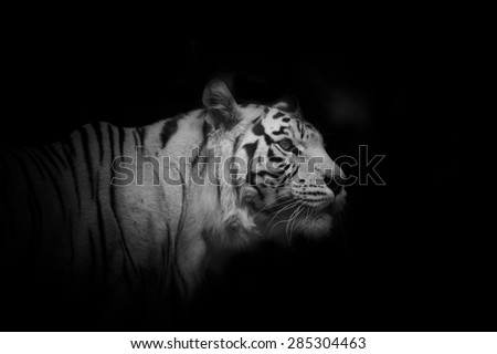 young white tiger male over a black background in monochrome tones - stock photo