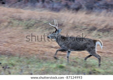 Young Whitetail Deer Buck on the move during rutting season. - stock photo