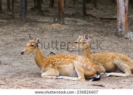 Young Whitetail Deer male and female sitting together in the public park - stock photo