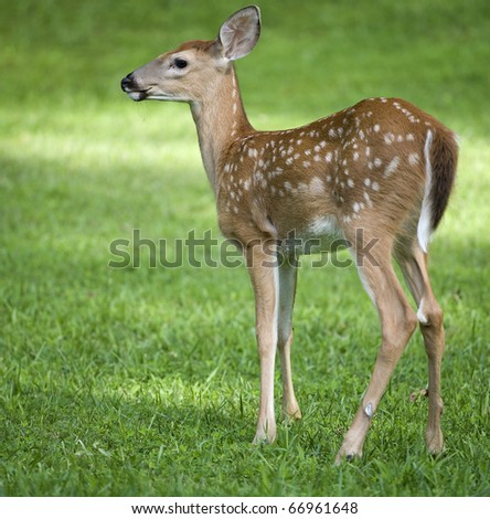 young whitetail deer that is on a green field of grass - stock photo