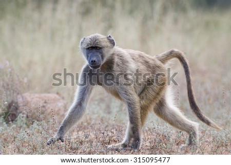 Young wild Baboon walking over dry ground  in the Kruger National Park, South Africa - stock photo