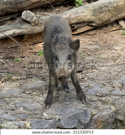 Young wild boar in their natural habitat. - stock photo