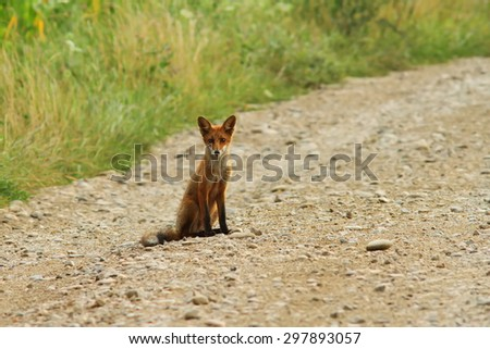 young wild european fox ( Vulpes ) standing  on rural road, looking at the camera - stock photo