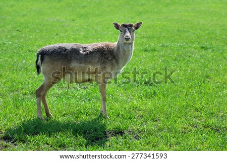 Young wild roe deer on a meadow in spring time - stock photo
