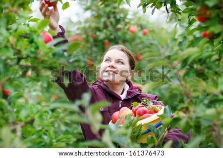 Young woman picking red apples in an orchard. - stock photo