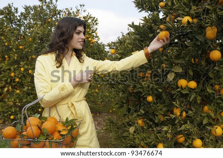 Young woman reaching for an orange from a tree while standing in an orange grove. - stock photo