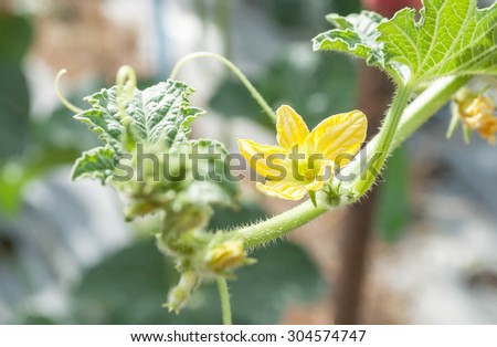 Young yellow Cantaloupe flower on the plants - stock photo