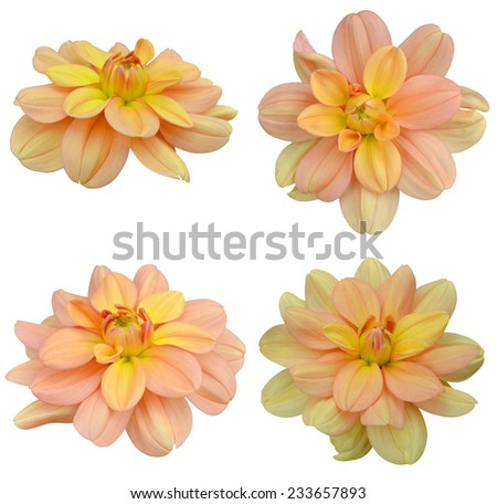 Young yellow dahlia blooms isolated on white  - stock photo
