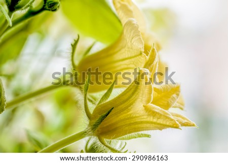 Young yellow pumpkin flower with tender green leaves - stock photo