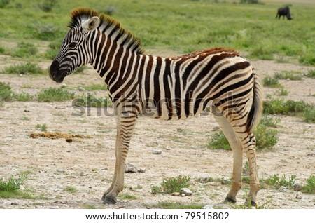 young zebra - stock photo