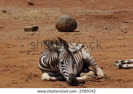 Young zebra in a drought - stock photo