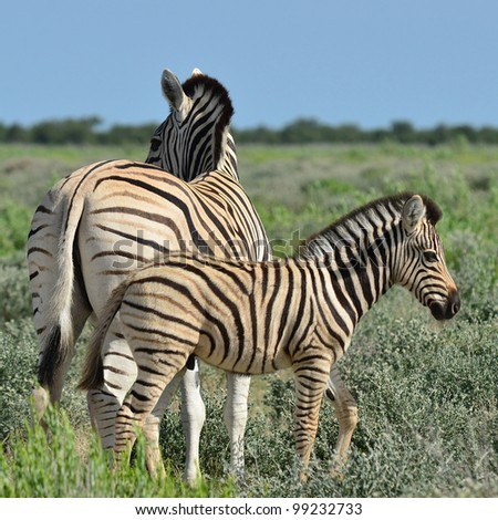 young zebra with its mum - stock photo