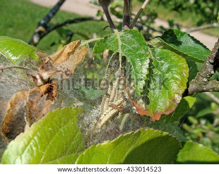 Yponomeuta malinellus or apple ermine moth larvae colony on apple tree in its web close up. - stock photo