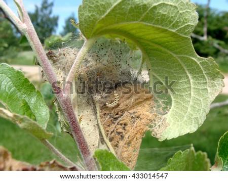 Yponomeuta malinellus or apple ermine moth larvae on apple tree in its web close up. - stock photo
