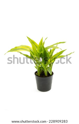Yucca in the small pots isolated on white background - stock photo