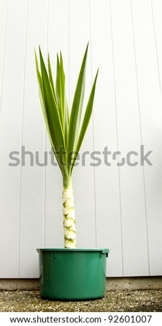 Yucca plant in pot - stock photo