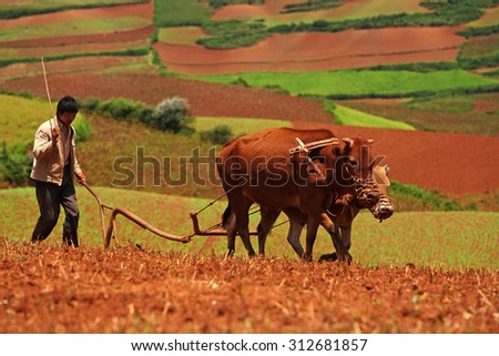 YUNNAN, CHINA - AUG 13 : Unidentified people cultivation in farm and plowed by oxen on August 13, 2010 in Yunnan, it is a field landscapes in Yunnan Province, southwest of China - stock photo