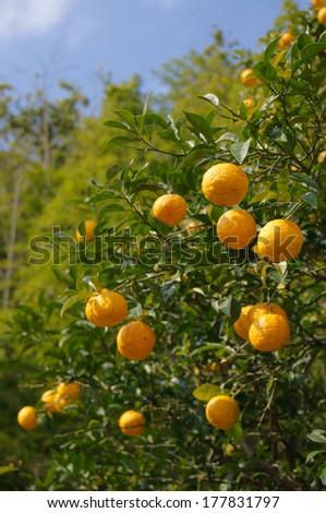 Yuzu: Citrus junos is a kind of Japanese citrus  - stock photo