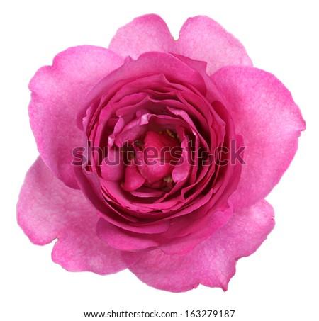 yves piaget rose isolated on white background - stock photo