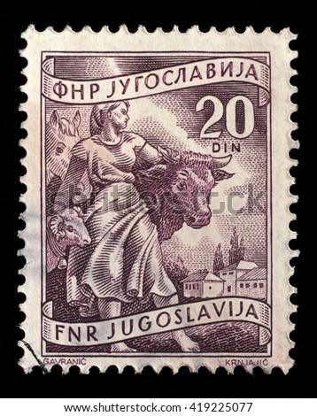 "ZAGREB, CROATIA - SEPTEMBER 13: A stamp printed in Yugoslavia shows Livestock raising, inscriptions from series ""Domestic economy"", circa 1952, on September 13, 2014, Zagreb, Croatia - stock photo"